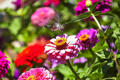 Garden Photograph - Hummingbird Flight by Garry Gay