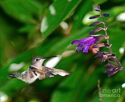 Hummingbird Floats At Purple Bloom Art Print