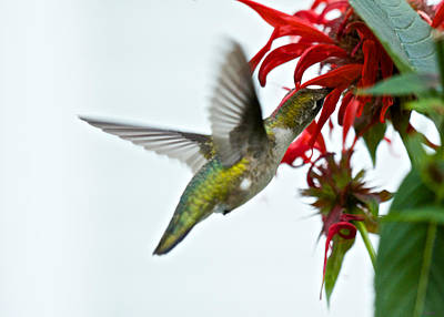 Photograph - Hummingbird Focused On The Scarlet Bee Balm by Kristin Hatt