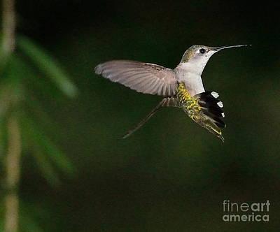 Hummingbird Frozen In Flight With Wings Back Art Print