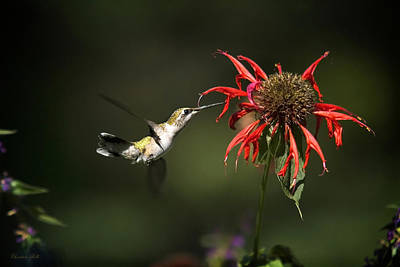 Photograph - Hummingbird Garden Angel by Christina Rollo