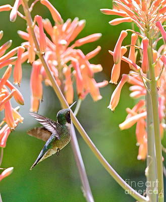 Hummingbird Green Floats At Aloe Orange Art Print