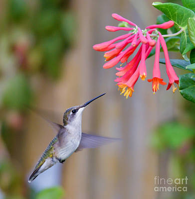 Photograph - Hummingbird Happiness by Kerri Farley