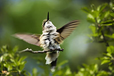 Rollos Photograph - Hummingbird Happy Dance by Christina Rollo