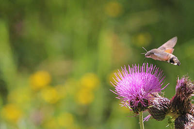 Art Print featuring the photograph Hummingbird Hawk-moth - Macroglossum Stellatarum by Jivko Nakev