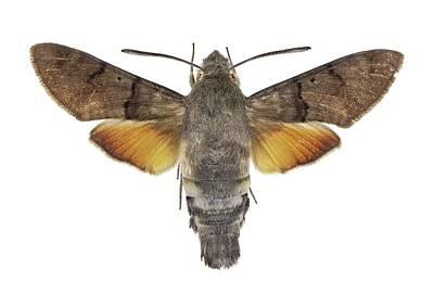 Hummingbird Hawk-moth Print by Science Photo Library