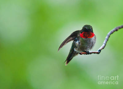 Photograph - Hummingbird Hello by Cheryl Baxter