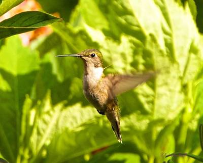 Photograph - Hummingbird Highlighted By The Sun by Kristin Hatt
