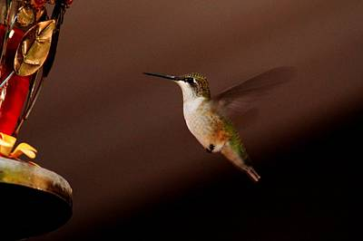 Photograph - Hummingbird Hover by Coby Cooper