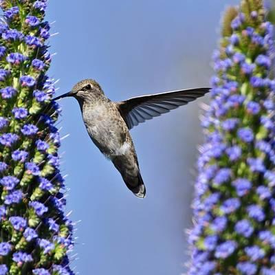 Hummingbird Hover Art Print