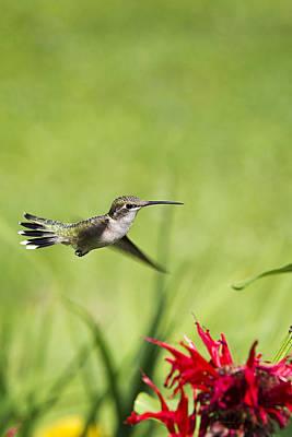 Hummingbird Hovering Over Flowers Art Print