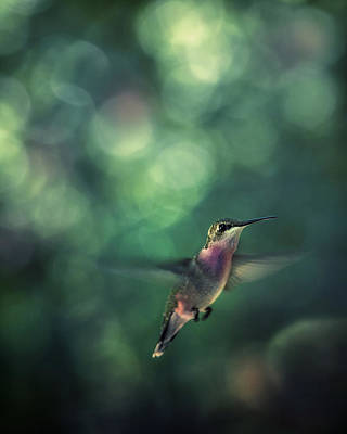 Hummingbird Hovering Art Print by William Schmid