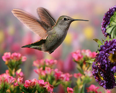 Hummingbird In Colorful Garden Art Print by William Lee