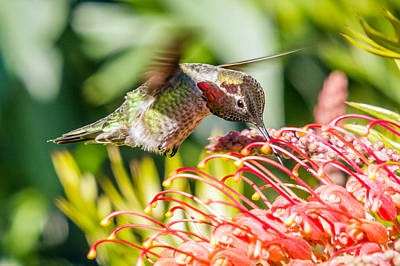Photograph - Hummingbird In Colourful Flowers by Pierre Leclerc Photography