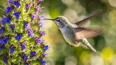 Photograph - Hummingbird In Fields Of Flowers by Pierre Leclerc Photography