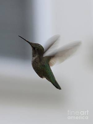Photograph - Hummingbird In Flight by Carol Groenen
