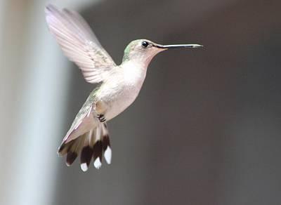 Photograph - Hummingbird In Flight by Christine Hafeman