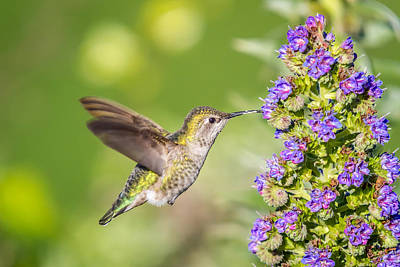 Photograph - Hummingbird In Flight by Pierre Leclerc Photography