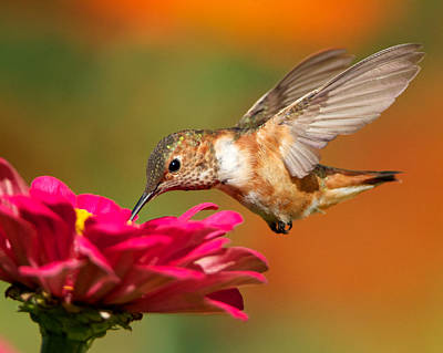 Photograph - Hummingbird In Flight by Steve Kaye