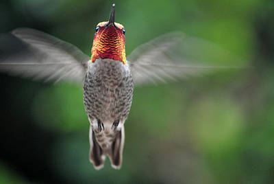 Art Print featuring the photograph Hummingbird In Flight Male Anna by Jay Milo
