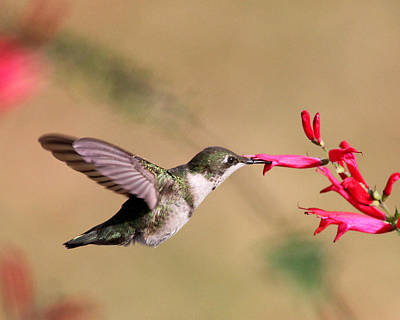 Photograph - Hummingbird In Winter by Andrew W Hu