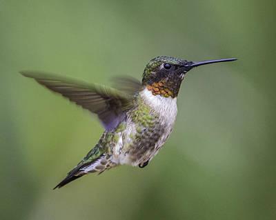 Photograph - Hummingbird by Jeanne Hoadley