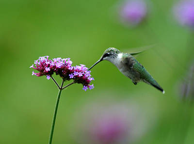 Photograph - Hummingbird by Karen Adams