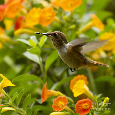 Birds Rights Managed Images - Hummingbird looking for food Royalty-Free Image by Heiko Koehrer-Wagner
