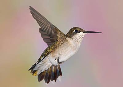 Photograph - Hummingbird Maneuvers by Leda Robertson