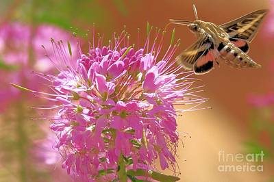 Photograph - Hummingbird Moth by Adam Jewell