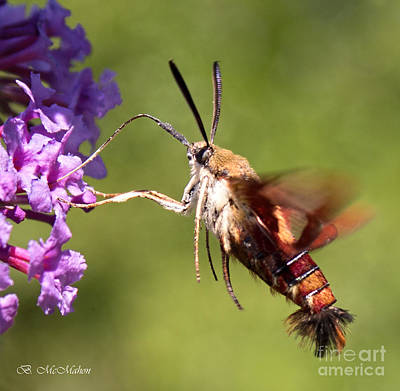 Photograph - Hummingbird Moth by Barbara McMahon