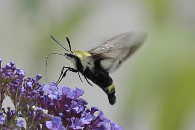 Photograph - Hummingbird Moth by Bradford Martin