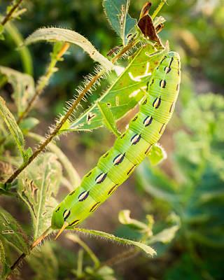 Photograph - Hummingbird Moth Caterpillar by Bill Pevlor