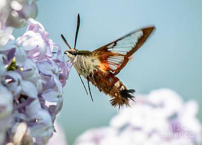 Photograph - Hummingbird Moth by Cheryl Baxter