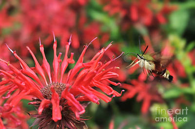 Vermeer Rights Managed Images - Hummingbird Moth feeding on red flower Royalty-Free Image by Dan Friend