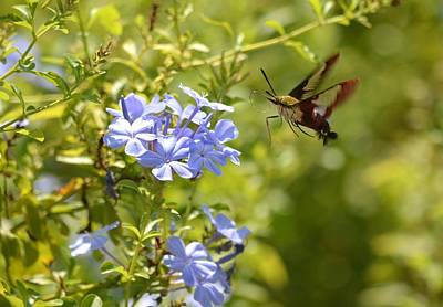 Photograph - Hummingbird Moth In Flight  by Richard Bryce and Family