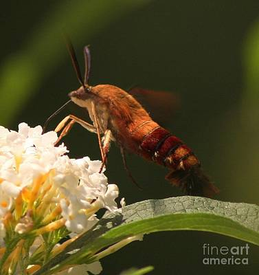 Photograph - Hummingbird Moth by Marcia Lee Jones