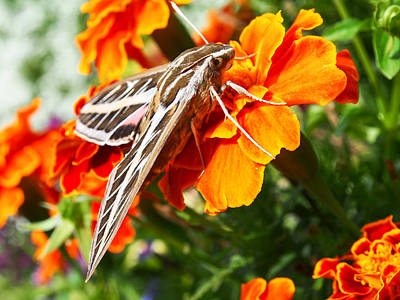 Photograph - Hummingbird Moth On A Marigold Flower by Nadja Rider