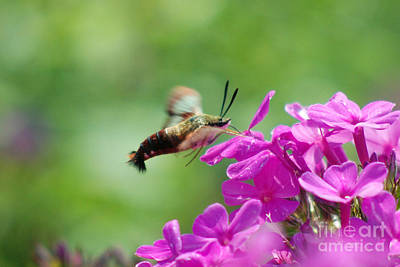 Digital Art - Hummingbird Moth On Pink by Eva Kaufman