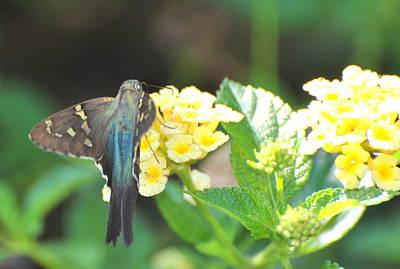 Art Print featuring the photograph Hummingbird Moth On Yellow Flowers by Jodi Terracina