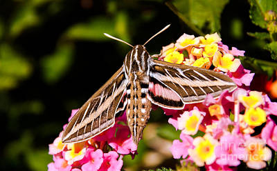 Photograph - Hummingbird Moth  by Robert Bales