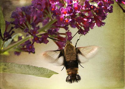 Photograph - Hummingbird Moth by TnBackroadsPhotos