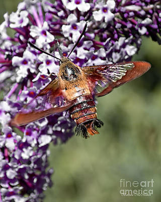 Photograph - Hummingbird Moth Wingspan by Barbara McMahon
