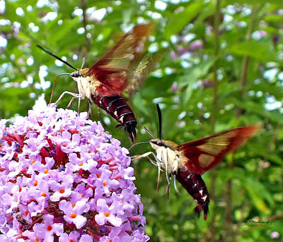 Photograph - Hummingbird Moths by Duane McCullough