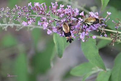Photograph - Hummingbird Moths by Ericamaxine Price