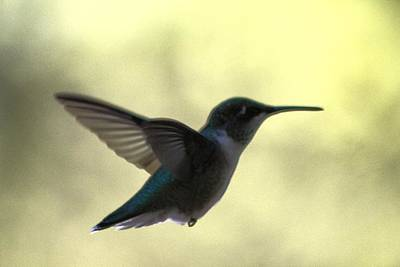 Photograph - Hummingbird Music  by Debra     Vatalaro