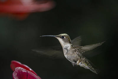 Photograph - Hummingbird by Nelson Watkins