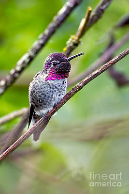 Photograph - Hummingbird On A Branch by Sharon Talson