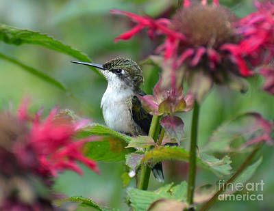 Photograph - Hummingbird On A Leaf by Rodney Campbell
