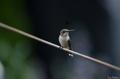 Photograph - Hummingbird On A Wire by Gary Wightman
